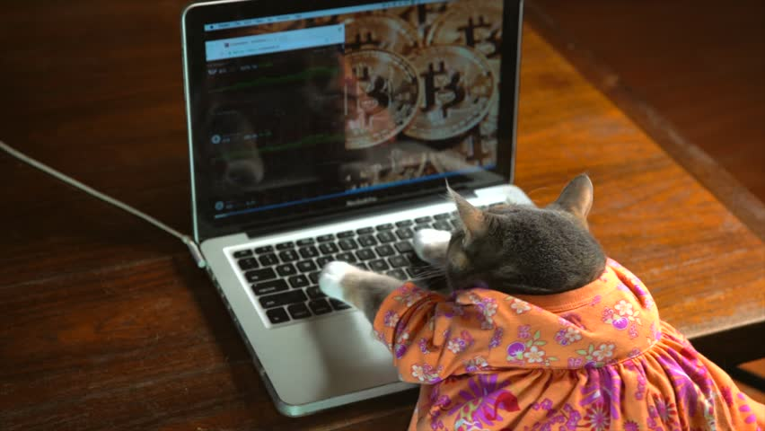 This video shows a back view of a cute cat in a colorful dress typing frantically on a laptop computer with bitcoin on the computer background. | Shutterstock HD Video #1015181731