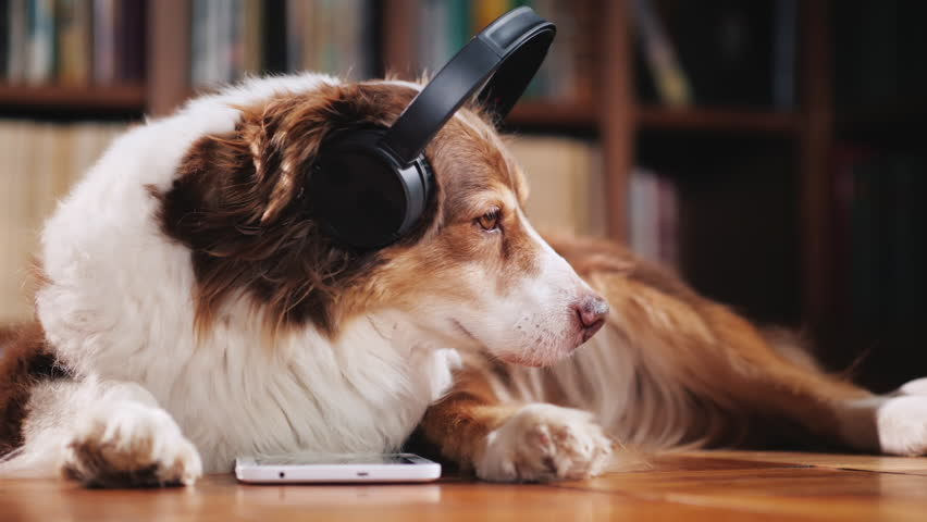 The Australian Shepherd is lying on the floor in the library, listening to music on headphones. Next to her tablet | Shutterstock HD Video #1015335397