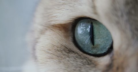 Cat With Big blue or green Eyes Close-up Looking At The Camera. golden British Cat.