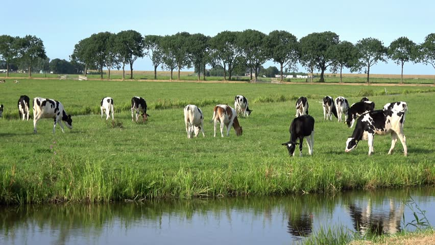 4K. Cows on livestock farming. Cows grazing on green meadow in Edam, Netherlands. Dutch landscape. Near the cows there is a stream of water-Adrian