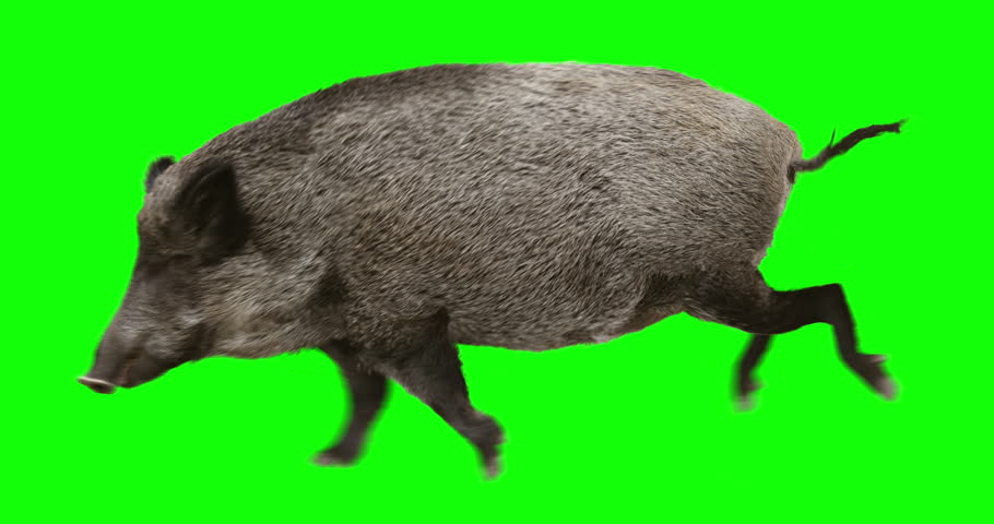 Wild boar gallop runs. Animation is cyclic and isolated. Green Screen