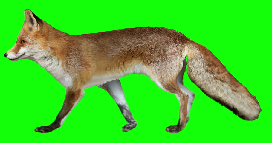 Red fox walking. Isolated and cyclic animation. Green Screen. Royalty-Free Stock Footage #1015419478