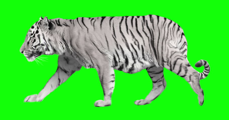 White tiger walking. Isolated and cyclic animation. Green Screen.