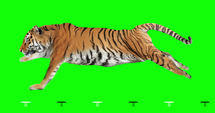 Tiger runs. Isolated and cyclic animation. Green Screen.
