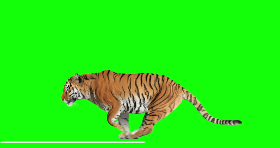 Tiger runs jumping. Animal isolated for your background. Green Screen