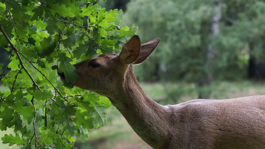 Roe deer eating acorns from the tree, Capreolus capreolus. Wild roe deer in nature.