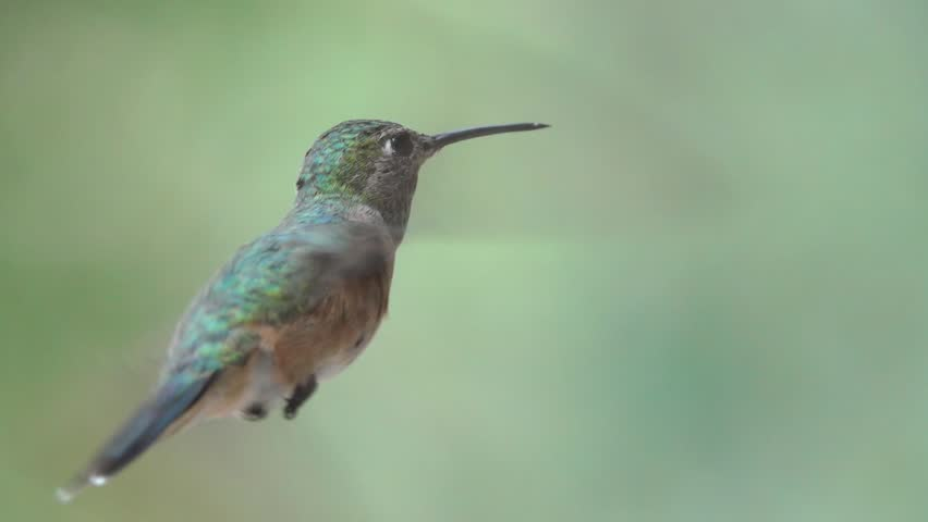 Calliope Hummingbird at feeder | Shutterstock HD Video #1015527673