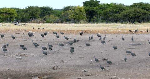flock of Crested guineafowl Etosha, Namibia Africa