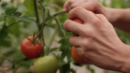harvesting of red tomatoes in greenhouse