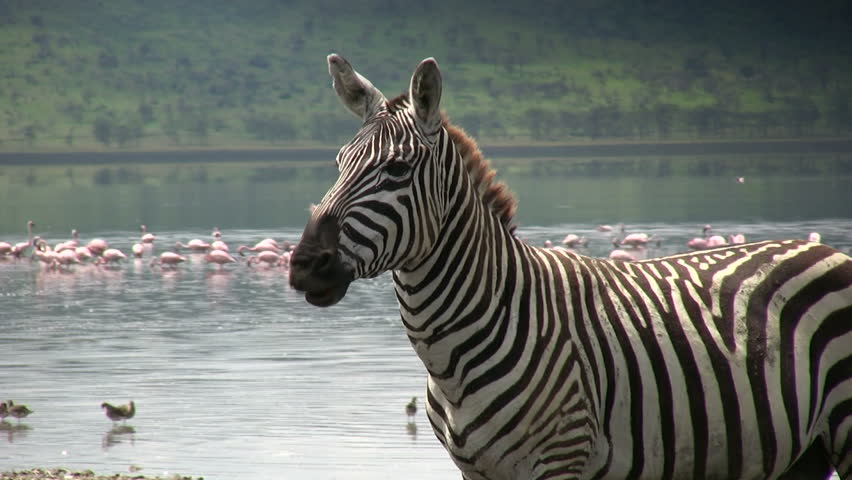 A zebra moving his lips as if talking to himself.