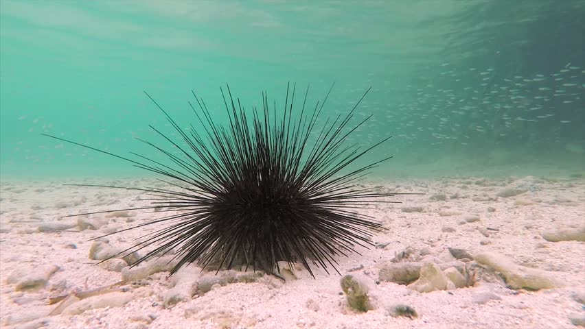 Sea urchin walking | Shutterstock HD Video #1015651162