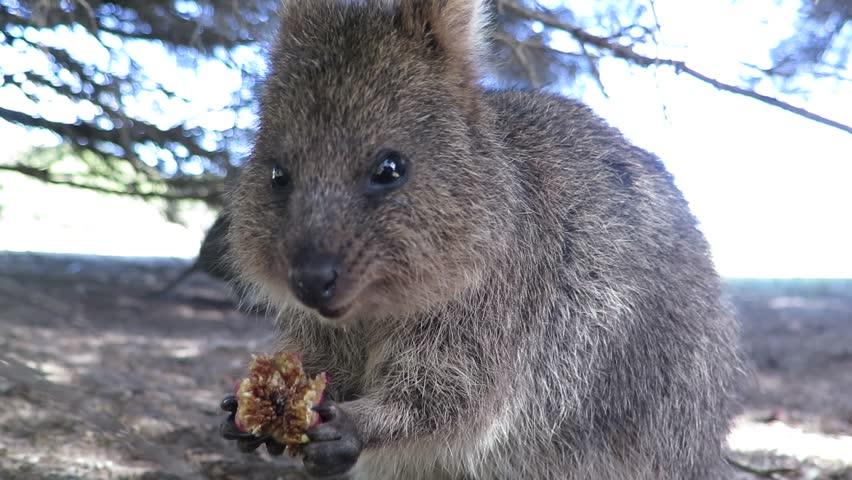 Happiest animal on earth-Quokka-Setonix brachyurus feeding, munching on rubber tree fig on Rottnest Island, Western Australia