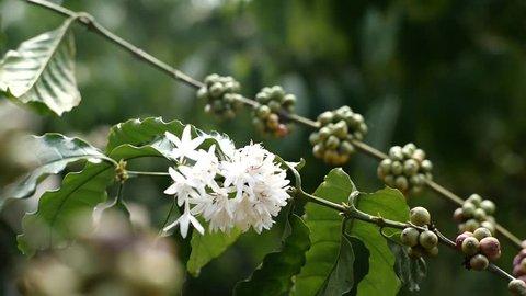 coffee flowers in coffee farm