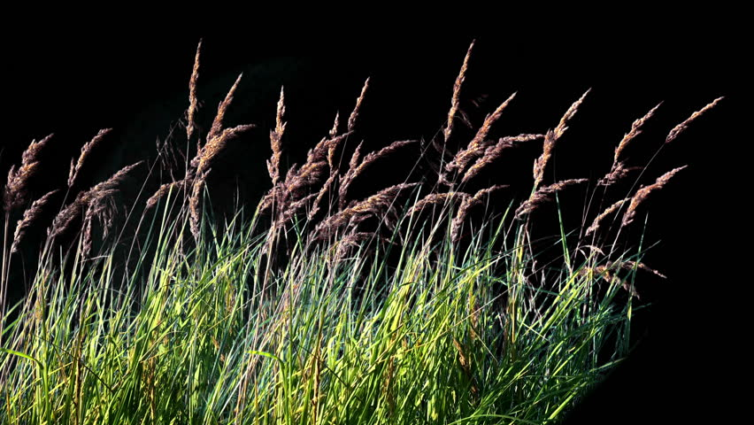 High Grass Isolated, Grass Blowing On The Wind, Wheat spikelets grass, green plants leaves, green plants are moving from wind   Shutterstock HD Video #1015733488