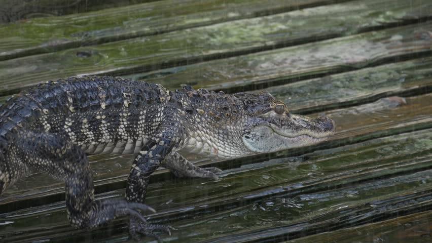 Alligator slowly walks across the platform. Drops drip near the young alligator. Alligator on wooden wet platform. Young alligator close up slow motion. Crocodile formidable predator. Crocodile farm.