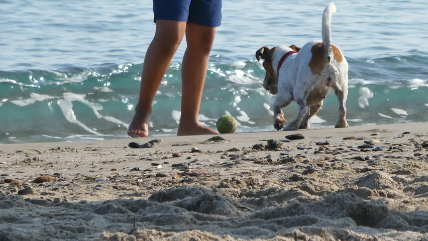 Jack russell terrier plays on the beach with his ball | Shutterstock HD Video #1015856425