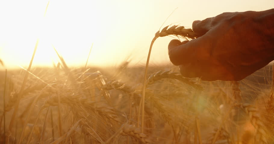 Hands of farmer touching wheat ear at sunset, expecting good harvest. agriculture concept closeup 4k