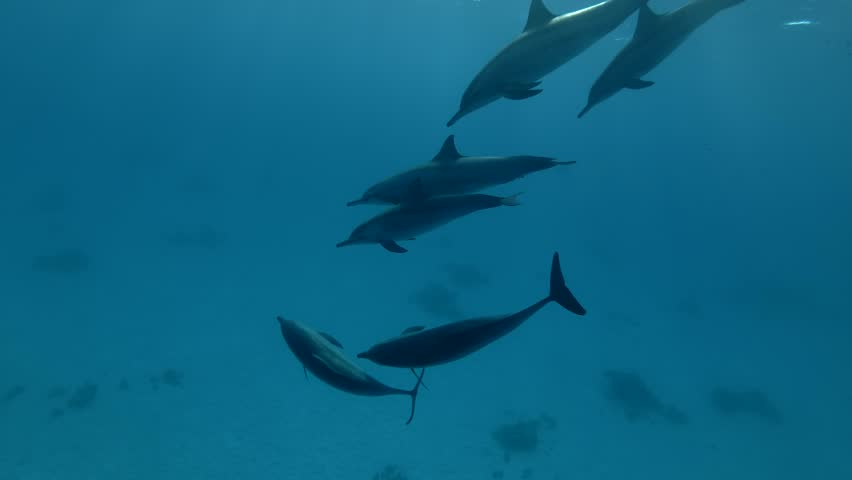 Group of dolphins playing in the blue water in mating season (Spinner Dolphin, Stenella longirostris) Close up, Underwater shot, 4K / 60fps Royalty-Free Stock Footage #1015906147