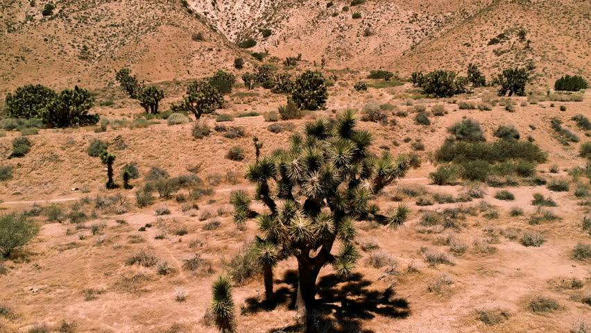 View of joshua tree. Joshua tree  is native to the arid southwestern United States, specifically California, Arizona, Utah, and Nevada.  Joshua Tree National Park.