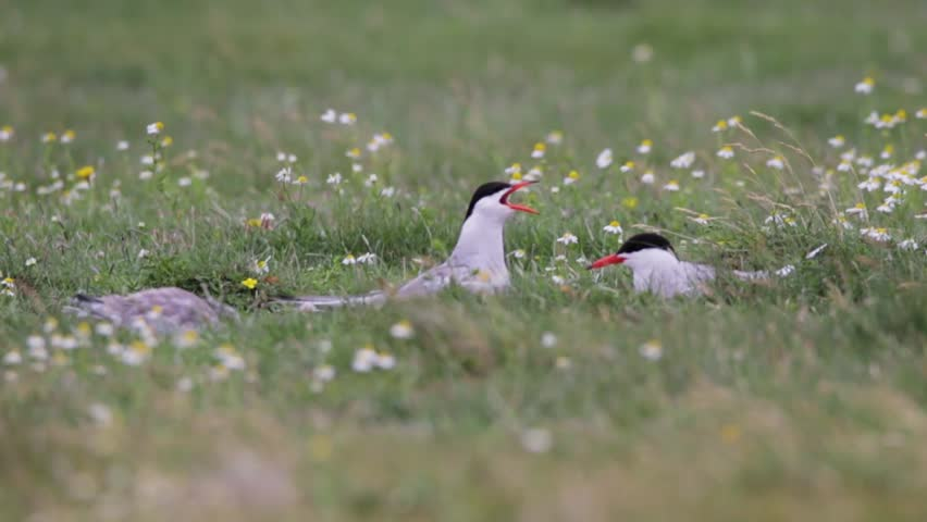 Arctic terns talking to each other