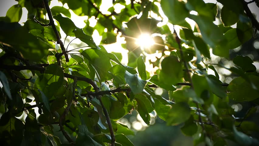Live texture with green leaves and breaking sun rays. | Shutterstock HD Video #1015966393