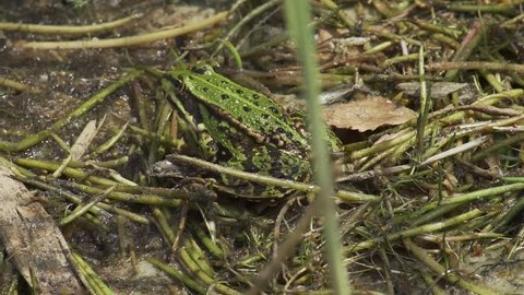 A Frog sitting in shallow water
