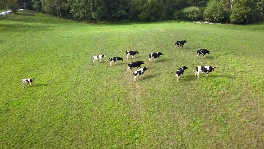 Aerial View of Dairy Cows Herd on Meadows at Sunrise
