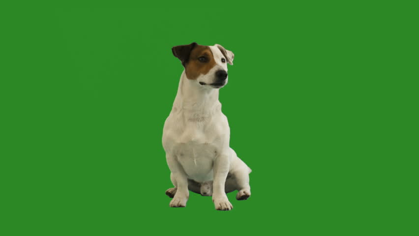 Jack Russell Terrier sits on a green screen