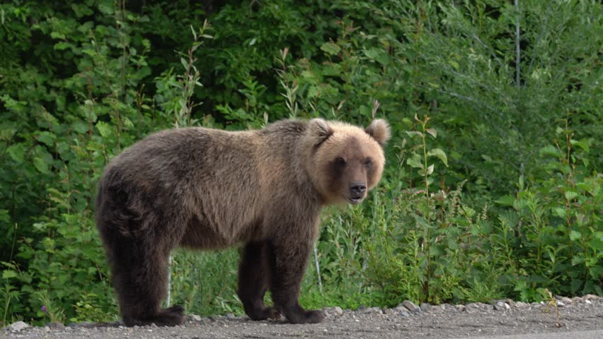 Hungry Kamchatka brown bear lies on roadside of asphalt road, heavily breathing, sniffing and looking around. Kamchatka Peninsula, Eurasia, Russian Far East. #1016095636