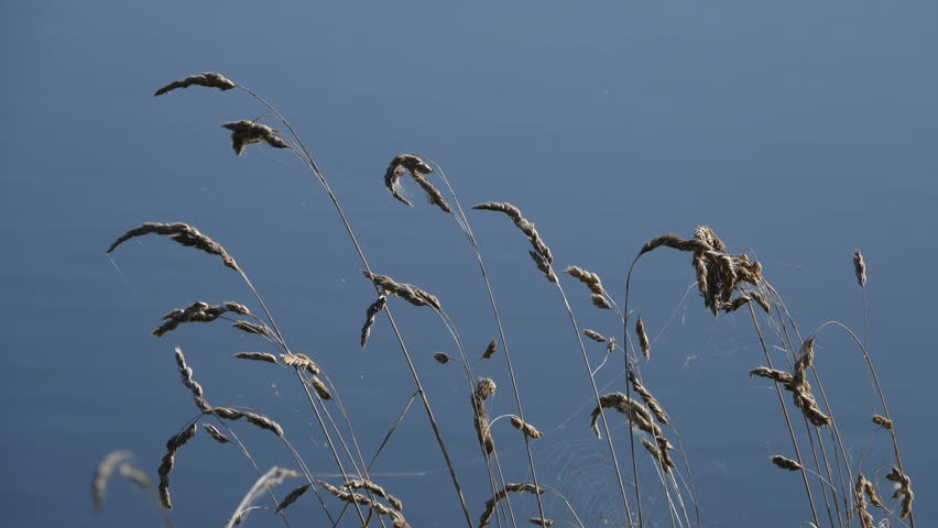 Dry grass and spider webs swaying in the wind against the background of the river. Summer season, August.   Shutterstock HD Video #1016102506