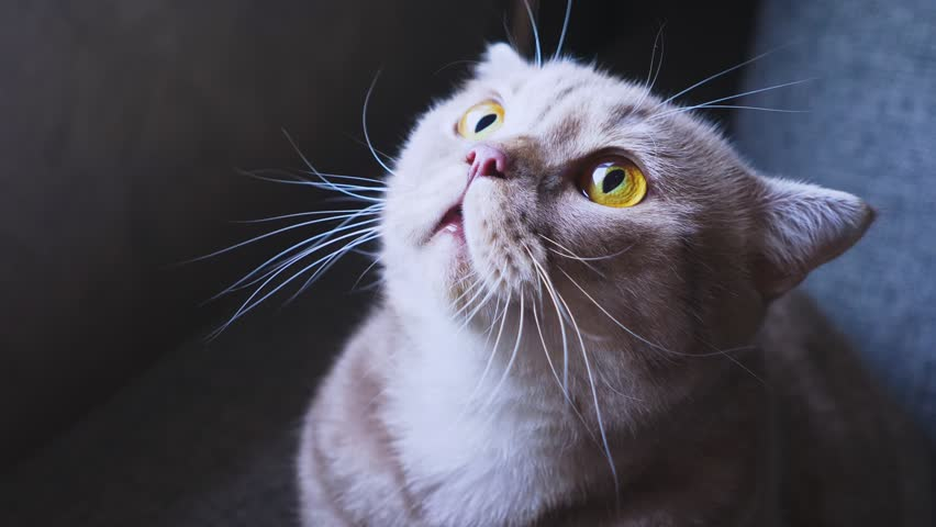 Scottish fold cat. close-up. frightened cat on the couch. hisses at something. 4k, slow motion | Shutterstock HD Video #1016120233