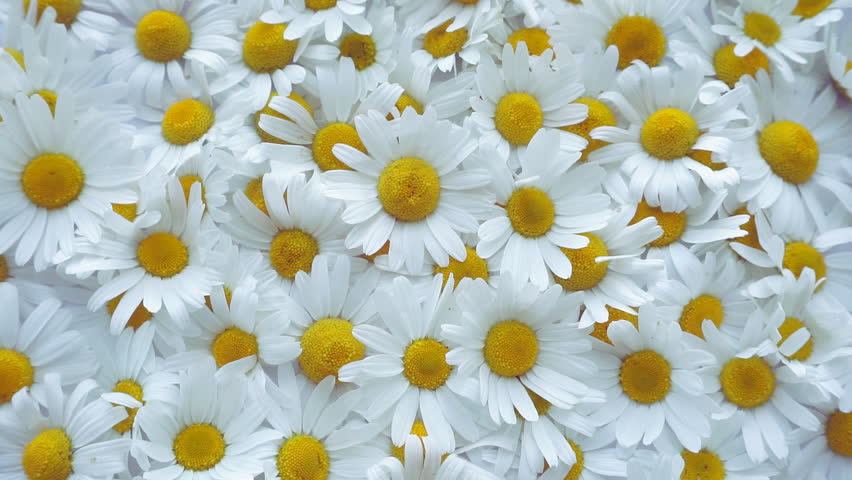 Daisy flower rotation background. Medical chamomile close up. Top view. Slow motion   Shutterstock HD Video #1016138956