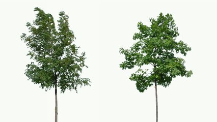 High quality 10bit footage of trees on the wind isolated on white background.  Made from 14bit RAW