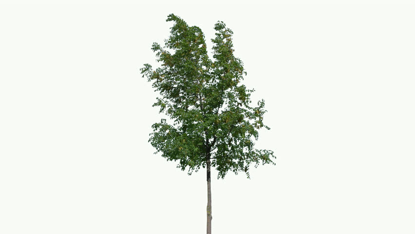 High quality 10bit footage of tree on the wind isolated on white background.  Made from 14bit RAW   Shutterstock HD Video #1016197621