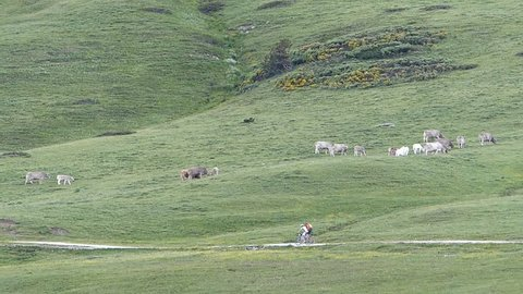 Mountain bikers pedaling through green meadow and cows in the background