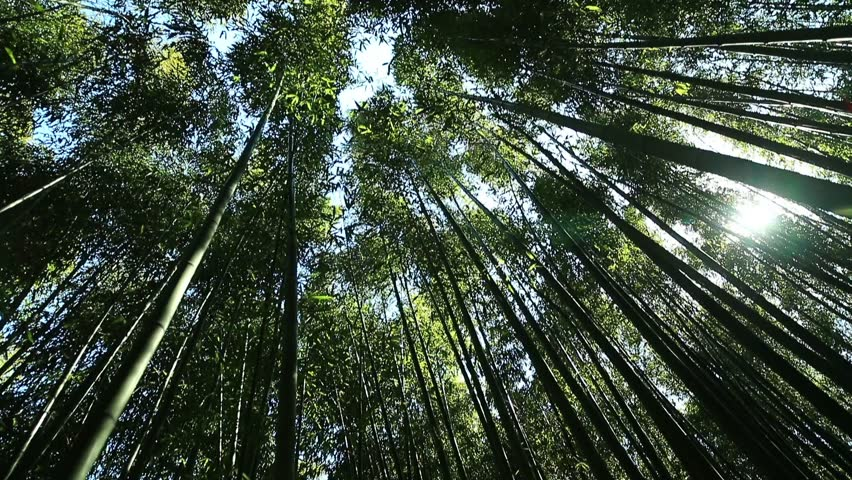 This is a picture of bamboo forest. It is a view from the low angle of the windy bamboo forest, clear sky, and the clouds. | Shutterstock HD Video #1016247928