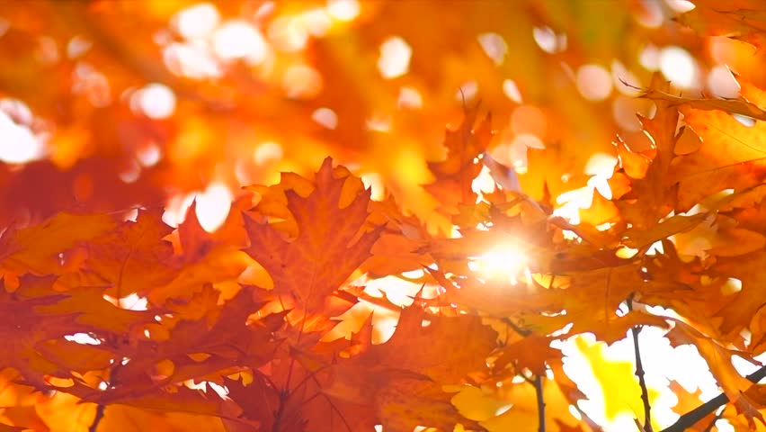 Autumn Leaves Nature Background Leaf Swinging On A Tree In