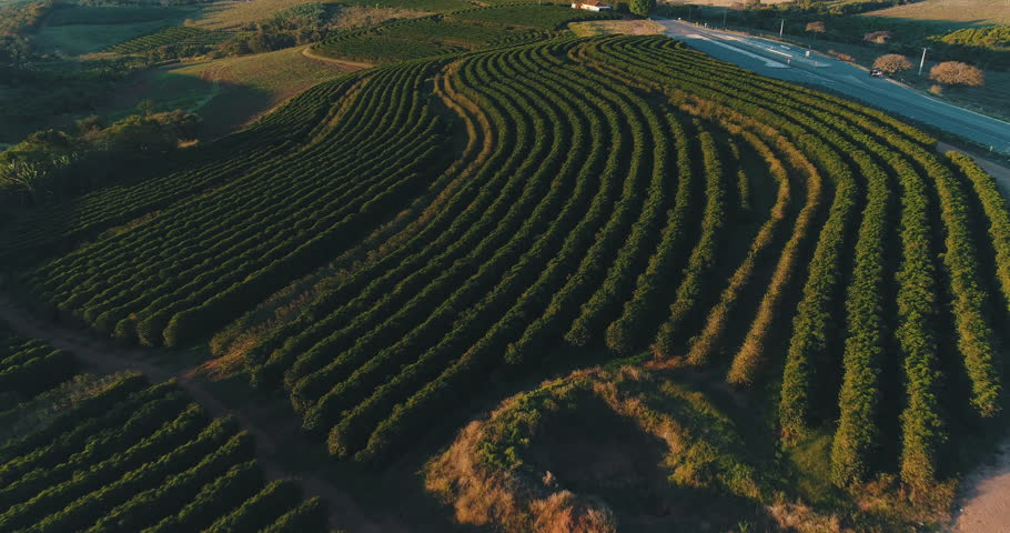Coffee field in Minas Gerais, Brasil. Image made at sunset