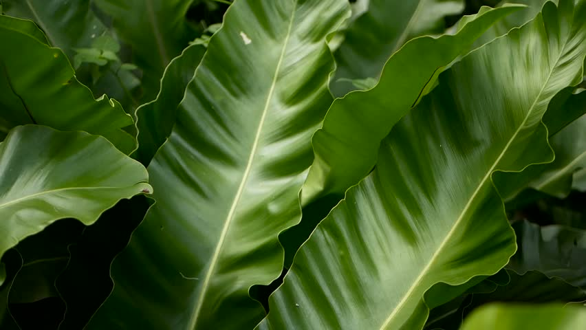 Bird's Nest fern, Asplenium nidus. Wild Paradise rainforest jungle plant as natural floral background. Abstract texture close up of fresh exotic tropical green fresh curly leaves in fantasy dark woods