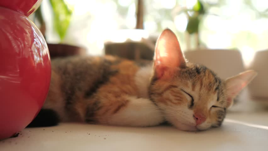 three-colored cat kitten sleeps on the window in the morning sunlight. the cat sleeps on the windows at the morning the sun beats shining. cat on the window lifestyle concept #1016536885