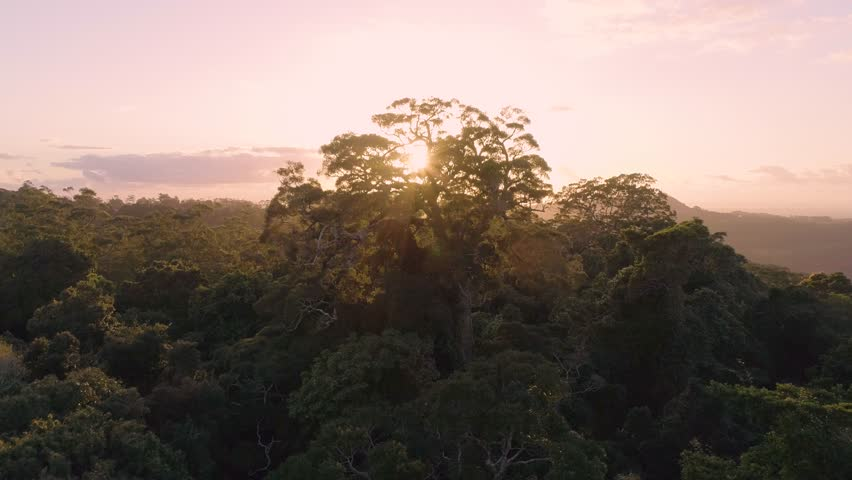 A Drone / Aerial Shot Over A Tropical Rain forest Canopy At Sunrise (Mary Cairncross, Queensland. Australia)