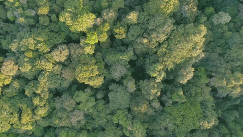 A Beautiful Drone / Aerial Shot Over A Tropical Rainforest Canopy At Sunrise (Mary Cairncross, Queensland. Australia) In 4K