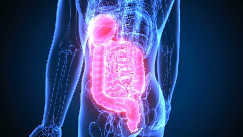 3d render of human digestive system anatomy