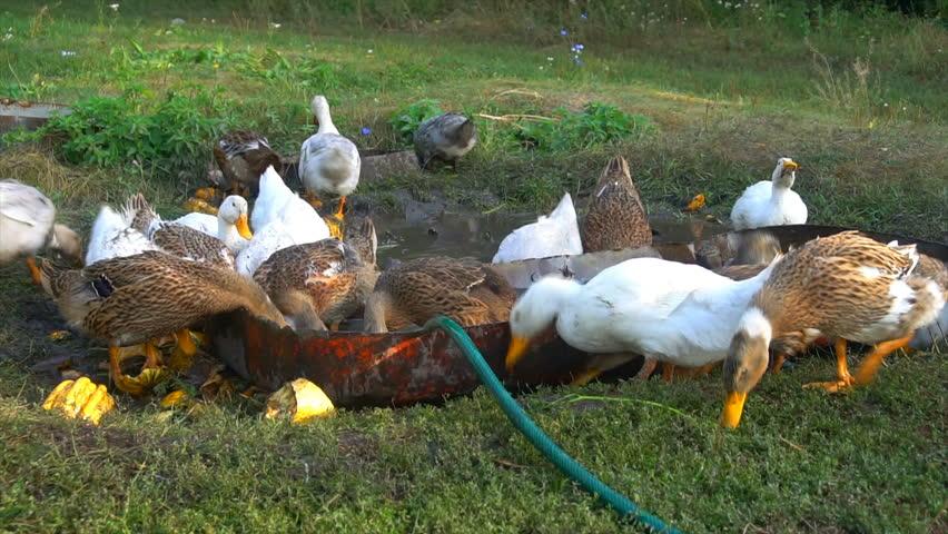 Raft of domestic ducks having a bath ( close up ) | Shutterstock HD Video #1016618776
