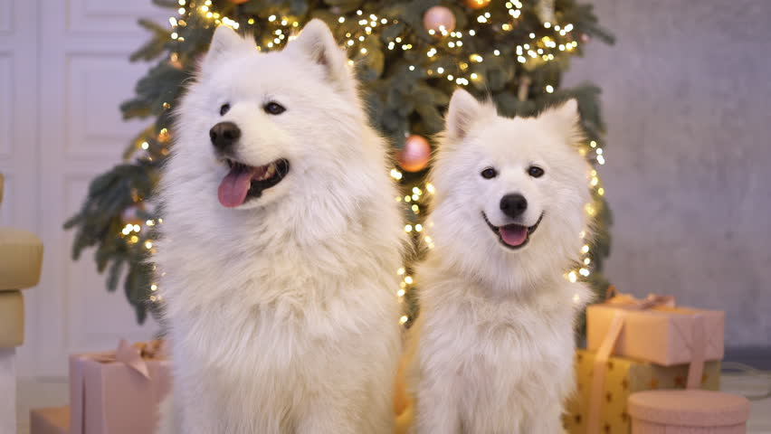 Two Fluffy White Puppy Dogs