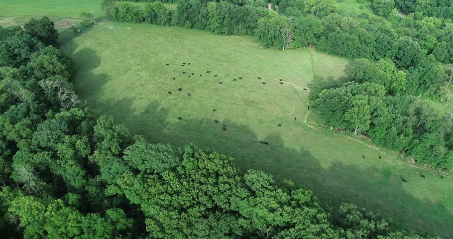 Cattle Grazing in Field | Shutterstock HD Video #1016725375