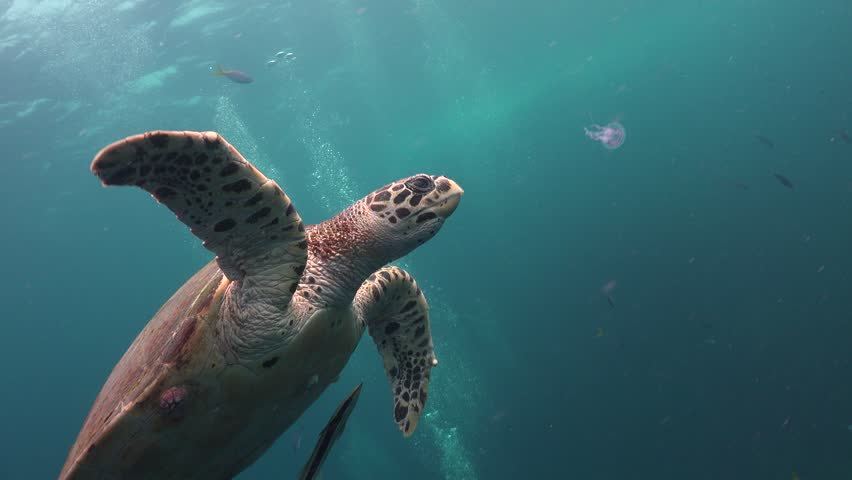The hawksbill sea turtle (Eretmochelys imbricata) eats small  jelly fish (Pelagia noctiluca)  | Shutterstock HD Video #1016766829