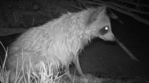 Raccoon (Procyon lotor) watching alertly on the edge of a south Georgia beaver swamp. Rare infrared night footage.
