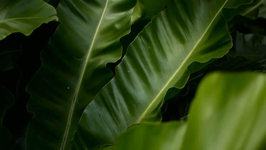 Bird's Nest fern, Asplenium nidus. Wild Paradise rainforest jungle plant as natural floral background. Abstract texture close up of fresh exotic tropical green fresh curly leaves in fantasy dark woods | Shutterstock HD Video #1016810386