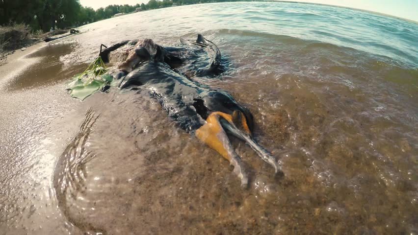 Dead cormorant on reservoir beach